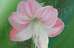 Apple Amaryllis