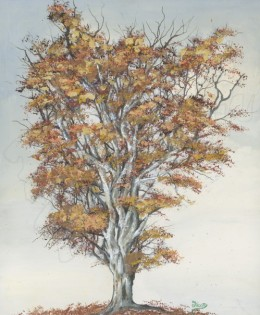 Old White Sycamore